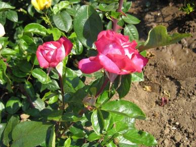 Розы б/о Парус